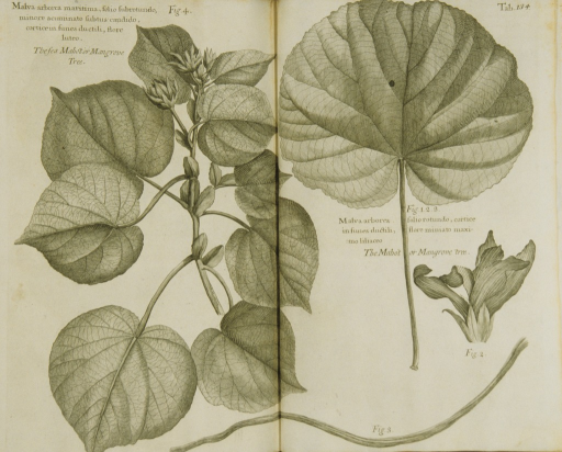 <p>Illustration of the stalk, flowers, and leaves of a mangrove tree.</p>