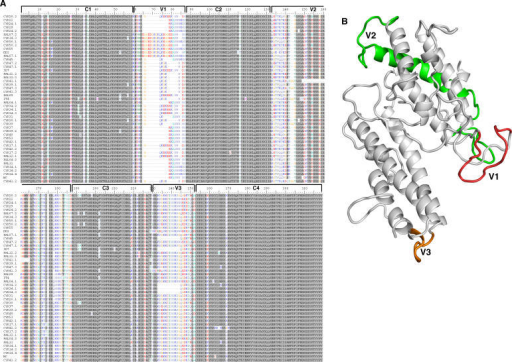 Multiple Alignment of VAR2CSA DBL3X Sequences(A) cDNA from 43 placental parasite samples were amplified with conserved DBL3X primers and sequenced. Sequences were curated for primer sequence, translated, and aligned. The text to the left indicates the identity of the samples. The DBL3X domain can be divided into four regions, which are highly conserved, C1–C4; and three regions, which are polymorphic and harbor deletions V1–V3.(B) Model of DBL3X showing the position of V1 (red), V2 (green), and V3 (orange).