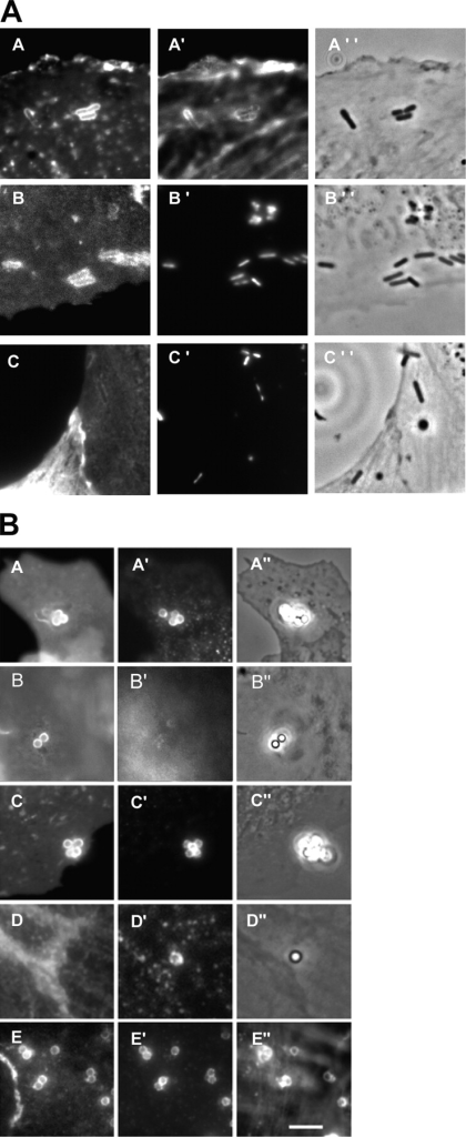 Recruitment of raft markers during InlB-dependent entry. (A) Non-transfected Vero cells (A) and Vero cells transfected with CFP-MyrPalm (B) or with CFP-GerGer (C), were incubated with L. monocytogenes (BUG 1641) for 10 min, washed, and fixed. GM1 was labeled with the fluorescent B subunit of cholera toxin (A) and F-actin was labeled with Alexa Fluor 647 (A′). The images B and C represent the CFP fluorescence, and A′′, B′′, and C′′ correspond to the phase contrast images. Bacteria were labeled with DAPI (B′ and C′). (B) Non-transfected Vero cells (A and B), Vero cells transfected with CFP-MyrPalm (C), with CFP-GerGer (D), or with GFP-GPI (E), were incubated with InlB-coated beads for 10 min, washed, and fixed. Cells were then labeled for GM1 (A and B), for HGF-R (A′, C′, D′, and E′), for transferrin receptor (B′), and for F-actin (E′′). A′′, B′′, C′′, and D′′ correspond to phase contrast images. Bar, 10 μm.