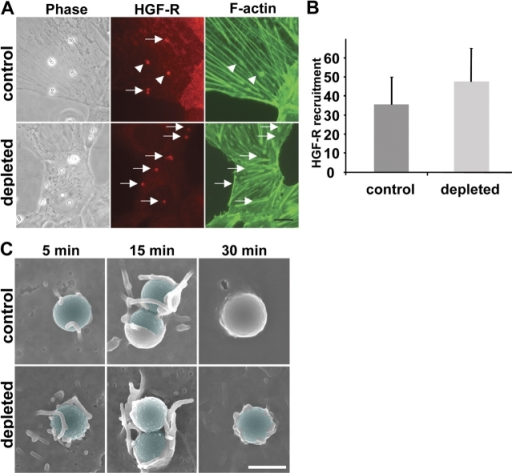 Cholesterol depletion does not affect HGF-R recruitment or initial membrane recruitment at the InlB entry site but subsequent closure of the phagocytic cup. (A) Control and cholesterol-depleted Vero cells were incubated for 30 min with InlB-coated beads. Cells were washed three times, fixed, permeabilized, and labeled for HGF-R (clone DL21; Alexa Fluor 546–conjugated secondary antibodies) and for F-actin (Alexa Fluor 488 phalloidin). Phase-contrast and fluorescent images were acquired with a 100× objective. Arrows indicate the InlB-coated beads that recruited HGF-R. Arrowheads indicate the InlB-coated beads that recruited HGF-R and F-actin. Bar, 10 μm. (B) Percentage of InlB-coated beads which have recruited HGF-R. (C) Control and cholesterol-depleted Vero cells were incubated for 5, 15, and 30 min with InlB-coated beads. Cells were washed three times and processed for scanning EM as described in Materials and methods. Extracellular portion of the beads were colorized using the Adobe photoshop software. Bar, 1 μm.