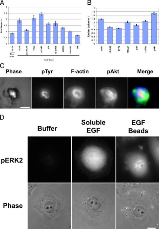 Localization of signaling proteins around EGF beads. (A) The relative increase in signal for the indicated molecule near the bead (5 min after application), relative to plasma membranes far from the bead in the same plane of focus, is given. Data are mean ± SEM from >33 cells in two or more separate experiments. (B) The areas of increased intensity of the samples measured in A were determined, and a radius calculated, assuming a circular shape. Means and SEM from >33 cells in two or more experiments are shown. (C) Comparison of phase, phosphotyrosine (pTyr, red), F-actin (blue), and phosphoAkt (pAkt, green) distributions in one cell stimulated with an EGF bead. Bar, 2 μm. (D) Global ERK activation. Cells were stimulated with buffer (left), 10 nM soluble EGF (middle), or EGF beads (right) for 5 min and then fixed and stained for phosphoERK (fluorescence on top, phase images on bottom). Beads are phase bright in the right hand phase image. Bar, 10 μm.
