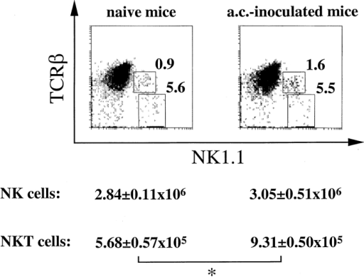 Generation of ACAID correlates with increased number of NKT cells in the spleen. ACAID was induced in mice as described previously. In brief, B6 mice were killed 7 d after ac inoculation of OVA. Column-enriched splenic T cells were harvested from ac-inoculated and uninoculated mice by application to IMMULAN™ columns, and stained for analysis by flow cytometry to determine the ratio of NK and NKT cells present within the lymphocyte gate for individual animals. Fluorescence for the TCR β chain (CyChrome 5) and the NK1.1 marker (PE) are shown on the ordinate and abscissa, respectively. The percentage of cells within the NK cell quadrant (rectangle) and the NKT cell quadrant (square) are indicated for the representative experiment shown. Absolute number (mean ± SEM) of NK and NKT cells was calculated from the precounted viable cell numbers in individual animals (n = 5), and is shown below the abscissa. Significant differences (P ≤ 0.05) are indicated by an asterisk.
