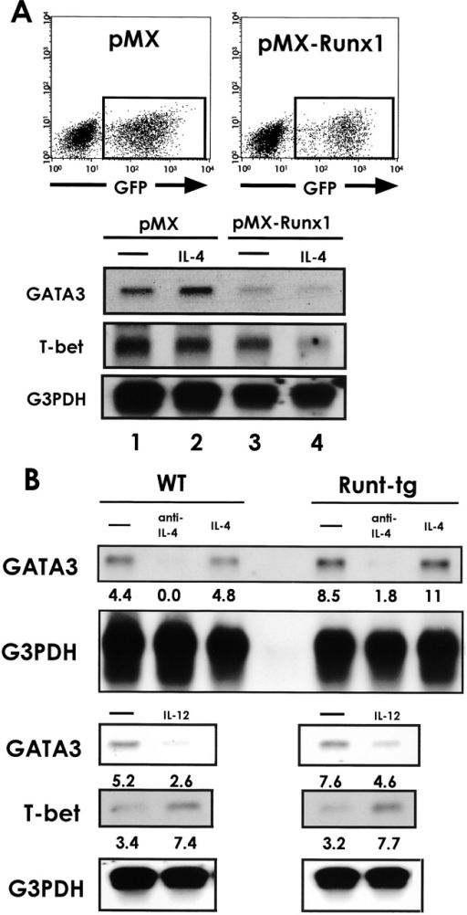 Effect of Runx1 overexpression and Runt-transgene on GATA3 expression. (A) Naive CD4+ T cells were isolated from the spleens of BALB/c mice, stimulated with anti-CD3/anti-CD28 antibodies, and infected by retroviruses carrying pMX or pMX-Runx1. After culture in the presence of IL-2 alone or of both IL-2 and IL-4, the cells were washed and reactivated via TCR. The GFP+ population was sorted as shown in the top panel, and RNA was extracted and processed for Northern blot analysis as shown in the lower panel. (B) Naive CD4+ T cells were isolated from the spleens of wild-type and Runt-transgenic mice, and stimulated with anti-CD3/anti-CD28 antibodies. In case, either anti–IL-4 antibody or IL-4 or IL-12 was added to the culture medium as indicated. RNA was extracted and processed for Northern blot analysis. Relative intensity of GATA3 and T-bet transcripts that were normalized by that of G3PDH are shown below the lanes. Data are representative of two independent experiments.