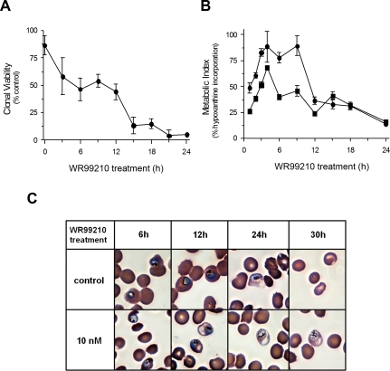 The antifolate WR99210 rapidly triggers commitment to death but fails to shut down metabolism or development.While 10 nM WR99210 is sufficient to commit 50% of the cells to lethality within 6 h, the parasites continue to obey normal metabolic pattern for hypoxanthine uptake and incorporation into DNA (albeit at a lower amplitude) and continue to develop to schizogony for upto 24 h. (A) Rapid decrease in clonal viability of WR99210 exposed Dd2 cells. Trophozoite forms of infected erythrocytes in 10 ml cultures were exposed to 10 nM WR99210 for varying periods. Washed cells were diluted and plated in 96-well plates (see methods). Control diluted cells revealed about 20 positive colonies starting at 12–16 days. (B) Continued incorporation of hypoxanthine in WR99210-treated cells. Young trophozoite forms of infected erythrocytes in 10 ml cultures were exposed to 10 nM WR99210 for varying periods. Cells were pulsed directly with radioactive hypoxanthine for 1 h. Incorporation of radioactive hypoxanthine into DNA was measured by precipitation of nucleic acids on glass fiber filters. Maximum incorporations was seen at 4–8 h into trophozoite development. •; Solvent-treated cells, ▪; WR99210-treated cells. (C) Synchronized Dd2 cells at early trophozoite stage were treated with 10 nM WR99210 or 0.1% DMSO (control) for 48 h. Parasites were visualized by light microscopy of Giemsa-stained blood smears. Images at 6 h, 12 h, 24 h, and 30 h of WR99210 treatment are shown. Based on microscopy, the parasites followed normal development up to about 24 h after WR99210 treatment.