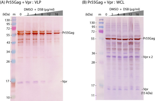 Absence of counteracting effect of Vpr on DSB inhibition of HIV-1 VLP assembly and release. Sf9 cells were coinfected with two baculoviruses at equal MOI each (5 PFU/cell), one expressing Pr55Gag, the other expressing His-tagged Vpr. Cells were treated with increasing concentrations of DSB in DMSO aliquots for 30 h at 18 h pi, as indicated on top of the panels. Cells were harvested at 48 h pi, and whole cell lysates (WCL) and extracellular VLP analyzed by SDS-PAGE and immunoblotting, using anti-His mAb and phosphatase-labelled anti-mouse IgG antibody, followed by anti-Gag rabbit antibody and peroxidase-labelled anti-rabbit IgG antibody. (A), VLP. (B), WCL. Note the occurrence of Vpr dimer (Vprx2; 30 kDa), stained in blue with the phosphatase reaction. (m), prestained molecular mass markers; (kDa), kiloDaltons.