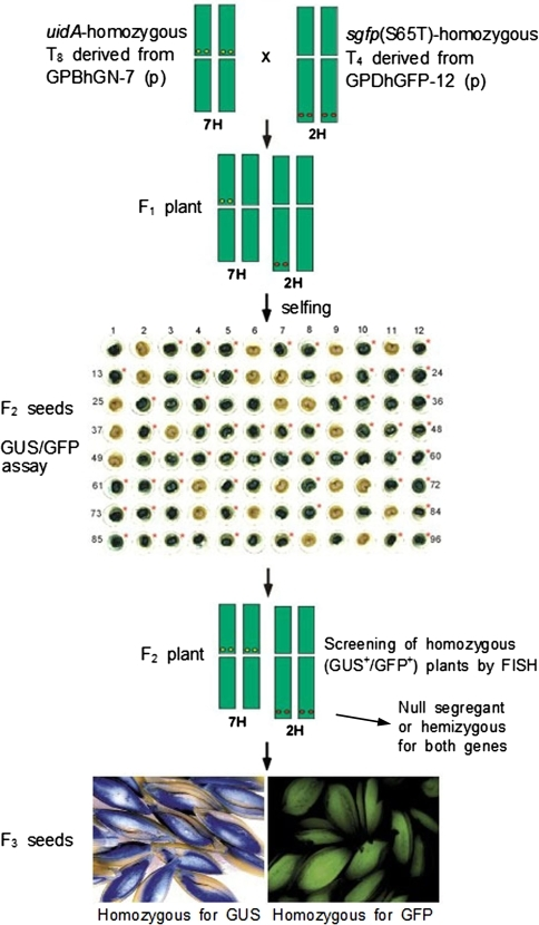 Screening of homozygous plants using GUS/GFP assay and FISH from crossed transgenic barley plants. F1 seeds were obtained from the cross of two parental plants, a homozygous T8 plant derived from GPBhGN-7 and a homozygous T4 plant derived from GPDhGFP-12; three F1 plants were tested for GUS/GFP activities. GFP expression in F2 seeds was performed using cross-sectioned half-seeds without immature embryos; GUS assay was then performed using the same materials. Expression of sgfp(S65T) is marked by an asterisk. Half-seeds with embryos expressing both GFP and GUS were saved and grown for next generations. Numbers indicate the seed number examined (Table 1). FISH technique was employed to screen the homozygous [uidA and sgfp(S65T)] F2 plants by direct mapping of transgenes on the chromosomes (Table 2; Fig. 3). Inserted uidA and sgfp(S65T) genes were localized on the centromeric region of chromosome 7H and on the subtelomeric region of chromosome 2H, respectively. Homozygous F3 generation seeds were obtained by analyzing segregation ratios of transgenes
