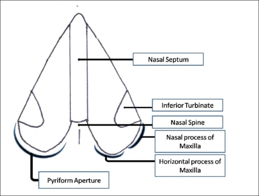 Schematic Representation Of The Pyriform Apertures In T Open I