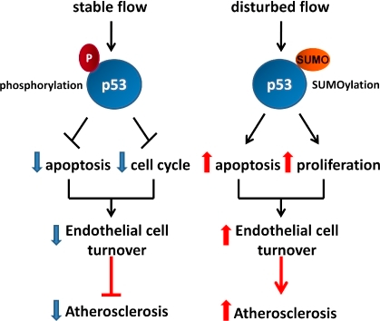 p53 coordinates the opposing effects of stable and disturbed blood flow on endothelial cell turnover. (A) A proposed pathway including a timeline by which disturbed flow is sensed by mechanosensors, which induces peroxynitrite (ONOO−) production, PKCζ phosphorylation, activation of E3 SUMO ligase PIASy, SUMOylation of p53, and its translocation to the cytosol, where it binds Bcl-2. Upon binding SUMOylated p53, Bcl-2 likely releases bax, which stimulates cytochrome c release from mitochondria, leading to apoptosome formation, caspase activation, and subsequent apoptosis. (B) Posttranslational modification of p53 (phosphorylation and SUMOylation under stable and disturbed flow, respectively) determines cell turnover and atherosclerosis. P, phosphorylation of p53.