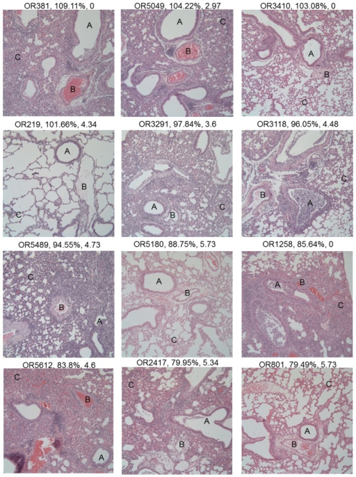 Diverse disease pathologies present across the pre-CC population.Histopathological examination of lung sections following IAV infection showed a diverse range of phenotypes. Each image is a single 100× magnification image of the lung section of a single pre-CC mouse (strain ID, D4 weight, and log titer (BDL = below detectable limit) are listed over each image). Disease phenotypes were scored for aspects of the damage to, and inflammatory cell infiltration around the airways (A), inflammatory cell infiltration around the vasculature (B), and damage and inflammatory cell infiltration in the alveolar spaces (C). Note that the image of OR219 shows a relatively healthy looking lung, and is useful as a baseline image.