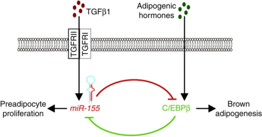 Schematic model of miR-155-regulated brown adipogenesis.miR-155 and C/EBPβ form a self-inhibitory feedback loop that tightly regulates brown adipogenesis. miR-155 expression is induced by TGFβ1 signalling and mediates translational repression of C/EBPβ by binding to its 3′ UTR. In turn, C/EBPβ is induced by adipogenic hormones and inhibits transcription of miR-155. Thereby, miR-155 and C/EBPβ constitute a bistable system for the regulation of adipogenesis and thermogenesis by either maintaining preadipocytes in an undifferentiated precursor state (mitotic clonal expansion) or initiating the brown adipogenic program.