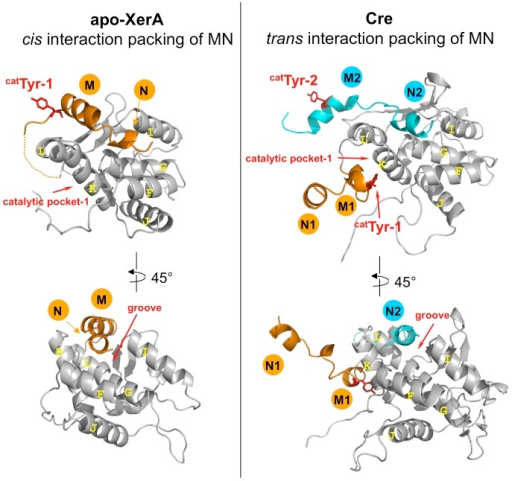 Cis or trans interactions of αN helices in Tyr-recombinases.The C-terminal domains of XerA and Cre are compared. αMN helices are in orange and catalytic Tyr are in red sticks. For Cre, M2 and N2 helices come from the neighbouring monomer. The groove occupied in trans by αN2 helix in Cre is the same as the groove occupied in cis by the αN helix of the same subunit in XerA.