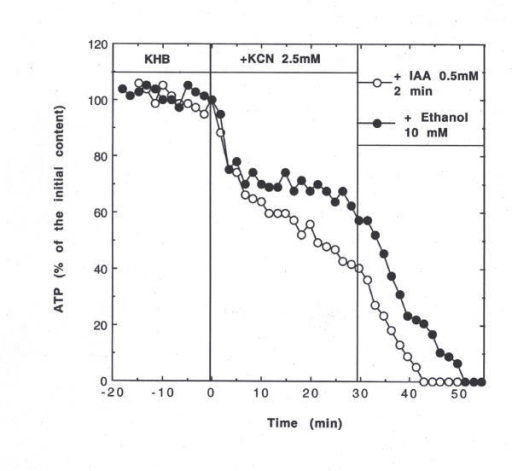 Effect of ethanol on glycolysis followed by the total hepatic ATP content by 31P NMR. One typical experiment per group: effect of IAA (0.5 mM; 2 min) or 10 mM ethanol. The sequence was (i) initial perfusion with KHB, (ii) inhibition of oxidative phosphorylation with KCN (2.5 mM during 30 min) and (iii) effect of IAA or ethanol on residual glycolytic ATP.