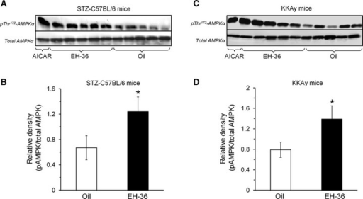 EH-36 activates AMPK in soleus muscles of STZ-C57BL/6 and KKAy diabetic mice. STZ-C57BL/6 (A, B) and KKAy diabetic mice (C, D) were treated with EH-36 or oil as described in the Figure 2A legend. Soleus muscles were isolated from the mice on day 5 and processed for AMPK and pThr172AMPK Western blot analysis as described under 'Materials and methods'. AICAR (4 mM) was added for 30 min. to soleus muscles isolated from untreated animals. (A) and (C) show representative Western blots; (B) and (D) give the summary of band densities of 3 independent experiments (open bars: control mice, black bars: EH-36 treated mice). Mean ± S.E.M., n = 3, *P < 0.05 in comparison with respective oil controls.