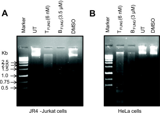 DNA fragmentation of JR4-Jurkat and HeLa cells induced upon treatment with fungal taxol and baccatin III. (A) JR4-Jurkat and (B) HeLa cells (3 × 106) were treated independently with fungal taxol, baccatin III or DMSO at indicated concentrations for 36 h. After extraction, DNA was electrophoresed in a 1.2% agarose gel, stained with ethidium bromide and photographed under UV illumination.