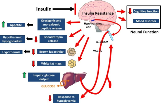 Effects of insulin signaling in the brain on central and peripheral function. Brain insulin resistance results in increased food intake, hypothalamic hypogonadism, hypothermia, decreased white fat mass, increased hepatic glucose output, impaired response to hypoglycemia, and impaired neural function. ARC, arcuate nucleus; DMX, dorsal motor vagal nucleus; NTS, nucleus of the solitary tract.