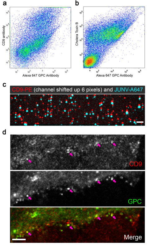 Junin virus buds at CD9-enriched sites. JUNV-A647 viral particles stained with either a CD9 antibody conjugated to PE (a) or Cholera Toxin B (CTB) conjugated to FITC (b) were analyzed by flow virometry and plotted as a function of Alexa 647 GPC antibody staining. (c) JUNV particles stained with a GPC antibody coupled to an Alexa Fluor 647 as in Figure 1g, were adsorbed on glow discharged glass coverslip. Samples were blocked in 0.5% BSA in PBS for 30 min, incubated with mouse anti-CD9 antibody coupled to PE for 30 min and then washed extensively in 0.5% BSA in PBS. Coverslips were mounted on slides and image by spinning disk confocal microscopy. The micrograph represents CD9-PE (red) and JUNV-A647 (cyan) and the red channel was shifted by 6 pixels up in order to better appreciate colocalization of the two fluorophores. Over 500 JUNV-A647 particles were counted and Pearson correlation with CD9-PE was evaluated at 0.77 +/− 0.1. Bar = 5 μm. (d) Vero cells infected with JUNV for 24 hrs were fixed, permeabilized and stained with a CD9 antibody conjugated to PE and the GPC specific GD01 antibody conjugated to Alexa Fluor 488. Images were acquired by spinning disk confocal microscopy and represent the plasma membrane of an infected cell. The images show CD9 staining (upper panel), GPC staining (middle panel) and the overlay of the two channels (bottom panel). The pink arrows highlight GPC positive spots, likely corresponding to budding events that are enriched in CD9. Bar = 5 μm.