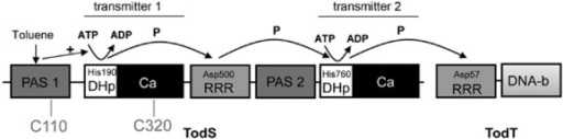 Schematic representation of the domain organization and mode of action of the TodS/TodT TCS. The phosphorylgroup-accepting residues and the phosphorelay are indicated as established by Busch and colleagues (2009). PAS, Per-Arnt-Sim-type sensor domain; DHp, dimerization/histidine phosphotransfer domain; Ca, catalytic domain; RRR, response regulator receiver domain; DNA-b, DNA-binding domain; P, phosphorylgroup.