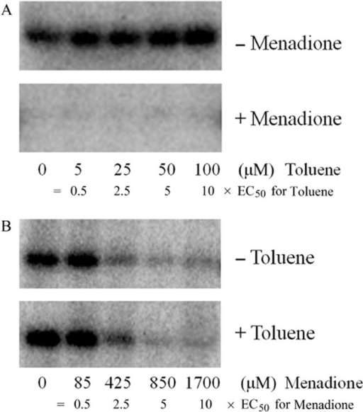 Assessment of the mutual influence of toluene- and menadione-mediated modulation of TodS activity.A. TodS was incubated with 5, 25, 50 and 100 μM toluene (corresponding to 0.5, 2.5, 5 and 10 × EC50) in the absence or presence of 340 μM menadione (corresponding to 2 × EC50).B. TodS was incubated with 85, 425, 850 and 1700 μM menadione (corresponding to 0.5, 2.5, 5 and 10 × EC50) in the absence or presence of 20 μM toluene (corresponding to 2 × EC50). Experiments were carried out in 2 mM DTT-containing analysis buffer. Samples were then submitted to autophosphorylation assays.