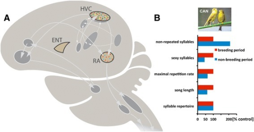 Schematic of the song control system of songbirds and seasonal features of the canary song. (A) HVC and RA are essential nuclei of the descending motor pathway of the song system that controls song production. All interconnected areas are parts of loops that feed back to the song motor pathway. The androgen receptors (red dots) are expressed in both the HVC and RA of canaries, while only HVC contains estrogen receptors (green dots) among song areas. Both areas express the 5α-reductase gene (blue squares) but only HVC expresses aromatase (yellow squares). The entopallium (ENT; the bird visual cortex) expresses neither androgen or estrogen receptors nor androgen- or estrogen-producing enzymes and was used as a contrasting brain area [20-23] (this study). (B) Song features such as song length, the number of non-repeated syllables, the number of sexy syllables and the maximal repetition rate of syllables change seasonally while the syllable repertoire of canaries does not change between their breeding and non-breeding season. The abundance of song segments with high repetition rates is a sexually attractive song pattern in canaries. Plotted are the percent differences between the breeding males (control) producing high testosterone levels and the non-breeding males producing low testosterone levels (redrawn after [16]).