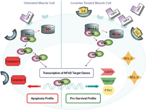 Proposed model for NFkB as a key regulator in the survival path of muscle following Losartan treatment. Losartan treatment increases TNF-α, which in turn activates NFκB through IκB-α and IκB-β degradation, p65 nuclear accumulation and upregulation of the pro-survival genes: TRAF1, TRAF2, CIAP2, and FTH1 in addition to anti-apoptotic BCL-2 protein, to mediate the anti-apoptotic effect of NFκB in skeletal muscle of the dy2J/dy2J mouse model of MDC1A. In addition, Losartan treatment results in decreased expression of the pro-apoptotic protein Caspase-3