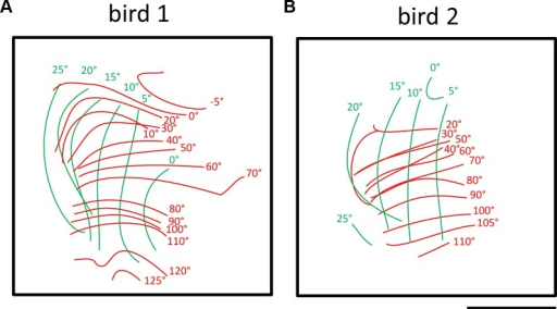 Iso-azimuth and iso-elevation lines demonstrating the extent of the visual field representation in two birds.Red complete lines denotes the iso-azimuth lines- a combined representation of maps obtained by visually stimulating with azimuth stimulus from different monitor positions. Green lines denotes iso-elevation lines- a combined representation of maps obtained by visually stimulating with an elevation stimulus from different monitor positions. A—bird 1, visual stimulation (both azimuth and elevation stimuli) from 0°-90°, fronto-lateral limit from -5°-+125° and vertical limit from 0°-+25°. B—bird 2, visual stimulation (both azimuth and elevation stimuli) from 0°-90°, fronto-lateral limit from 20°-+110° and vertical limit from 0°- +25°. Scale bar = 500 μm.