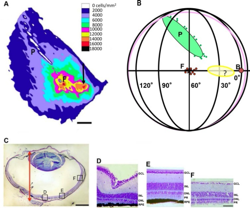 Retinal ganglion cell density measurements and landmark determination.A—Density distribution of retinal ganglion cells. The plot is adjusted in size and rotation to fit the landmark measurements in Fig 7B. P- pecten, F-fovea, Black arrow- area of higher density extending from the fovea into the direction of the beak. Scale bar: number of retinal ganglion cells/ mm2. B- Schematic representation of the positioning of the regions of higher ganglion densities with respect to visual field. P-pecten, F-fovea, B-beak indicated a red filled circle, yellow oval and '?'- area of higher density extending from the fovea into the direction of the beak. C- Horizontal section of the eyeball. Arrow depicts the axial length measured from the cornea to the retina. Scale bar = 1 mm. D-F—Sections at different locations along a section of retina (as indicated in Fig 7C), GCL-ganglion cell layer, INL-inner nuclear layer, ONL-outer nuclear layer, RPE-retinal pigmental epithelium, PR-photoreceptors. D-Fovea, E- medial between fovea and ora serrata, F- near the rim of the retina. Scale bar for D-F = 50 μm.