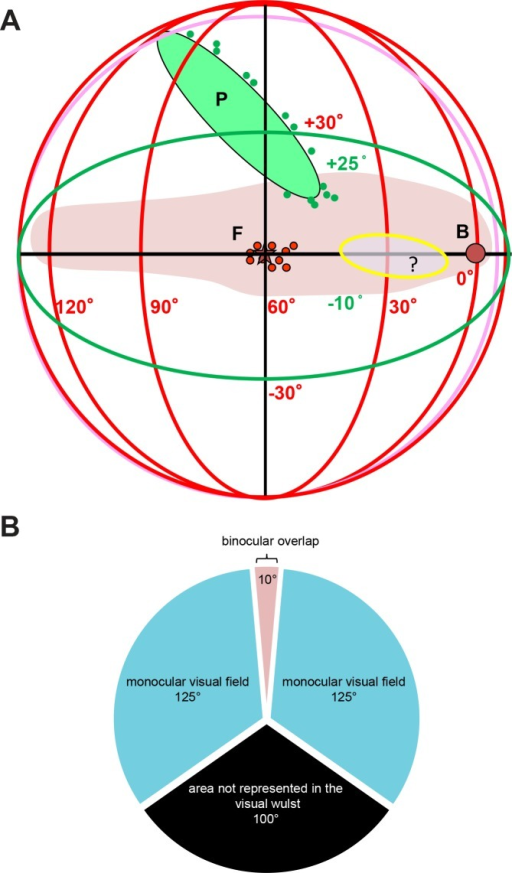 Schematic representation of the visual field extent represented in the zebra finch visual wulst.A: Azimuth and the elevation extent of the visual field (shaded area in pink), projected into a 3D space with lines of longitude (azimuth) and latitude (elevation). Small blue circles- points measured at the rim of the pecten, F-fovea, small red circles-measured positions of the fovea, yellow shaded oval region- area of higher density extending from the fovea into the direction of the beak. Visual field in zebra finches which is represented in the visual wulst, thus extend from around -5° frontally to +125° laterally. The visual field below the horizon up to 10° and above the horizon up to 25° is represented in the visual wulst. B—Demonstrates a view of the azimuthal plane along 0° latitude, which shows a binocular overlap of 10°, a lateral monocular visual field of about 125° and a caudal blind area of about 100°, which is not represented in the visual wulst.
