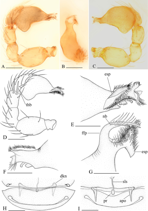 Bannanacrassispina sp. n., A–G male H, I female A, C, D Left palp, prolateral (A, D) and retrolateral (C) views B, E, F, G Distal part of bulb, dorsal (B, G), prolateral (E) and retrolateral (F) views H, I Genital area, ventral and dorsal views. Abbreviations: apo = apodeme; dkn = dark brown knobs; esp = ear-shaped protrusion; ffp = filiform, curved projection; nb = narrow branch; pr = posterior receptacle; sls = stick-like sclerite; thb = thick bristles. Scales bar: A–D, H, I = 0.1 mm; E–G = 0.05 mm.