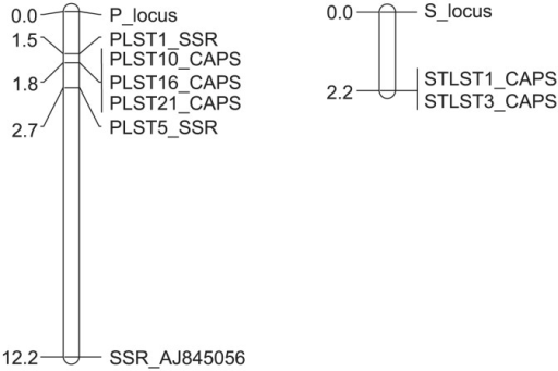 Genetic map of the putative P (left) and S (right) loci in pineapple. In the P locus, the genetic distances and locations between each SSR and CAPS marker and the P locus were calculated from the genotypes of 169 F1 plants from a cross between a 'piping-leaf-type' cultivar, 'Yugafu', and a 'spiny-tip-leaf-type' breeding line, 'Yonekura'. In the S locus, the genetic distances and locations between each CAPS marker and the S locus were calculated from the genotypes of 57 and 25 F1 plants having spiny-tip and spiny leaves, respectively. The genotypes of these markers are shown in Supplemental Table 4.