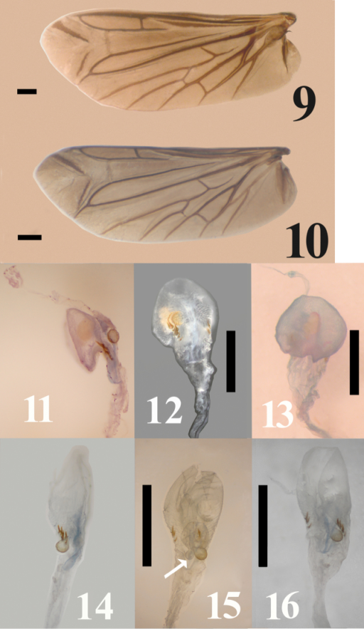 9–10 Wing venation illustration of Malalcahuelloocaresi (9), Campyloxenuspyrothorax (10) 11–13 Female genitalia Malalcahuelloocaresi14–16 Female genitalia Campyloxenuspyrothorax. Scale bar = 0.5 mm. (11–16); 1 mm (9–10).