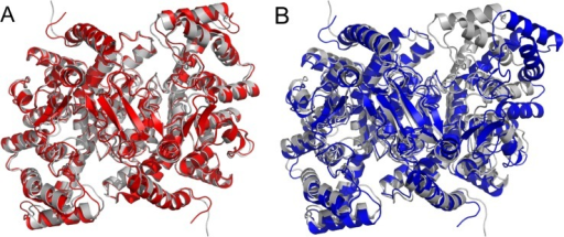 Symmetric (A) and asymmetric (B) forms of citrate synthase as generated by the geometric simulations (red, blue) biased along normal modes 9 (A) and 7 (B), started from the open structure (PDB ID: 3ENJ), compared to the closed structure (PDB ID: 2CTS, light gray).