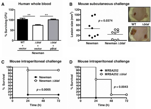 BlaI contributes to survival in human whole blood and virulence in vivo.(A) S. aureus Newman WT with empty complementation vector pDC123, the blaI mutant with pDC123, and the complemented blaI mutant strain were incubated for 1 h in human whole blood and CFU numbers enumerated. Samples were run in triplicate and data were plotted as the average percentage ± SD for each strain as compared to the initial inocula. A representative experiment of three performed is shown. **, p<0.01. (B) CD-1 mice (n = 8) were injected subcutaneously on one flank with S. aureus Newman WT and on the opposite flank with blaI mutant bacteria, and lesion sizes were monitored for 7 days. The lesions for each individual mouse at Day 7 are plotted and the average value indicated. Overall, the blaI mutant lesions were significantly smaller compared to the WT (p<0.04; paired t-test). (C-D) Survival of CD-1 mice (n = 10) after intraperitoneal infection with (C) 1 x 106 CFU of S. aureus Newman WT or Newman blaI mutant or (D) 6 x 108 CFU of MRSA252 or MRSA252 blaI mutant. Survival was monitored for 3 days. The survival for Newman or MRSA252 blaI mutant strain infected mice was significantly higher than for the WT infected strains as assessed by log-rank (Mantel Cox) test; the p values are shown in the respective graphs.