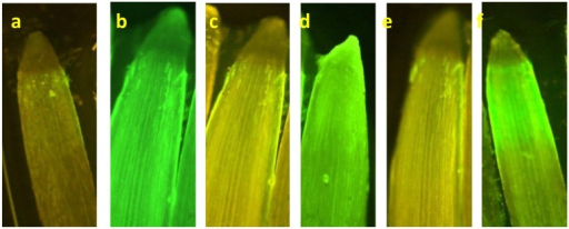 NO production in wheat roots after 8 h of treatment with Pb and SNP. Root samples were stained for NO with DAF-2DA and were investigated under fluorescence microscope. (a) Control, (b) 100 μM SNP, (c) 50 μM Pb, (d) 50 μM Pb+ SNP, (e) 250 μM Pb, and (f) 250 μM Pb+ SNP.
