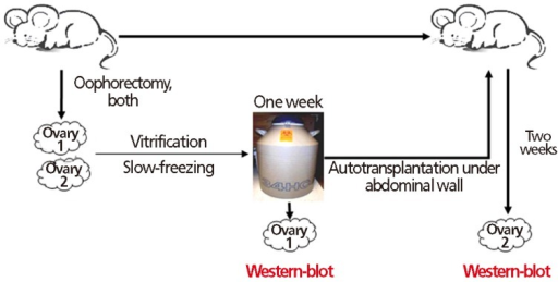 Flow diagram of experimental design: After 1 week of cryopreservation (vitrification or slow freezing), one of the paired mouse ovaries was analyzed for angiogenic factor expression; the other ovary was autotransplanted beneath the abdominal wall. After a 2-week autotransplantation period, angiogenic factors were assayed.