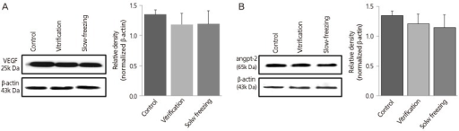 Western blot analysis: quantitative analysis by group of (A) vascular endothelial growth factor (VEGF) and (B) angiopoietin-2 (angpt-2) after 2 weeks of autotransplantation beneath the abdominal wall (no cryopreservation of controls). β-actin was used as internal standard. Data expressed as mean±standard error of three independent experiments.