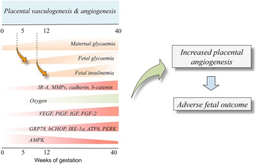 Fetal insulinemia and altered angiogenesis in fetoplacental endothelium from gestational diabetes mellitus. With the progression of pregnancy up to the 40th weeks of gestation, the maternal glycaemia increases, and could reach supraphysiological levels in pregnancies where the mother is diagnosed with gestational diabetes mellitus. The maternal hyperglycaemia results in increased fetal glycaemia from about the 5th week of gestation (dotted line), a condition resulting in a supraphysiological increase of fetal insulinemia from the 12th week of gestation. Increased fetal insulinemia results in altered placental vascular development and growth leading to angiogenesis alterations (Placental vasculogenesis and angiogenesis). Thus, an adverse fetal outcome is seen as a result of abnormal angiogenesis. Cell signaling mechanisms involved in this phenomenon include altered expression and/or activity of several molecules that are responsive to insulin (IR-A, MMPs, cadherin, b-catenin). Equally, a low oxygen level at the beginning of pregnancy increases the expression of proangiogenic growth factors (VEGF, PlGF, IGF, FGF-2) and increased (GRP78, CHOP, IRE-1α, ATF6, PERK) or reduced (AMPK) expression and/or activity. Composed from information reported by Babawale et al. (2000), Jirkovská et al. (2002), Easwaran et al. (2003), Baumüller et al. (2015), Westermeier et al. (2015b).