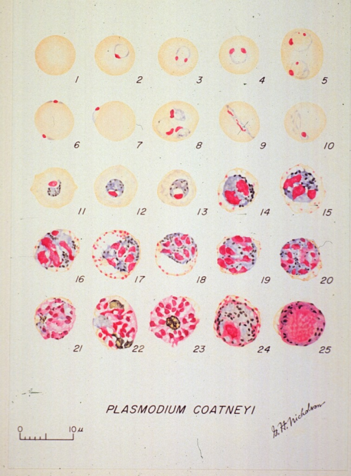 <p>Microscopic views illustrating the stages of growth of a malarial parasite.  (1) A normal red cell; (2-13) trophozoites; (14-23) schizonts; (24) macrogametocyte; (25) microgametocyte.</p>