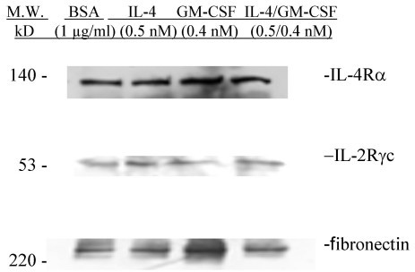 Upregulation of IL-2Rγc Expression in huASMC by IL-4 and IL-4/GM-CSF. Alpha-smooth muscle isoactin positive Human ASMC (Clonetics) in T-75 flasks were starved for 24 h in 0.1% FBS containing medium M199. The cells were then either stimulated with BSA (vehicle) (1 μg/ml), IL-4 (0.5 nM), GM-CSF (0.4 nM), or IL-4/GM-CSF (0.5 nM/0.4 nM) for 24 hours. The IL-4 and IL-4/GM-CSF stimulated cells had increased IL-2Rγc expression compared to the BSA (vehicle) group. Fibronectin polyclonal rabbit antibody (Sigma) (1:250) was used as an irrelevant isotype control.