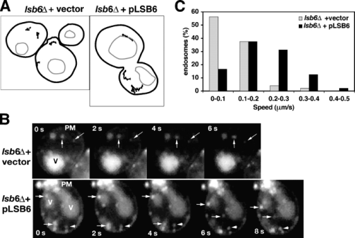 Lsb6 is required for endosome motility. (A) Tracings of endosome paths in lsb6Δ cells that lack or carry a plasmid (pLSB6) expressing wild-type Lsb6. (B) Gallery of fluorescence micrographs derived from Video S6 and S7 that illustrate endosome position over time in lsb6Δ cells lacking or carrying pLsb6. PM, plasma membrane; V, vacuole. (C) Histogram showing the distribution of endosome speeds in lsb6Δ cells lacking or carrying pLsb6.