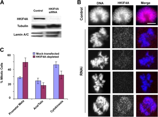 Depletion of HKIF4A reduces sister chromatid resolution and causes chromosome misalignment. (A) Western blot of HKIF4A in total extracts of MRC-5 cells after 48 h of mock (control) or HKIF4A RNAi transfection. (B) MRC-5 cells were fixed 48 h after transfection with RNAi and stained with DAPI (blue) and anti-HKIF4A (red). The chromosomal signal of HKIF4A was lost due to the RNAi effect. Bar, 5 μm. (C) Quantitation of distribution of mitotic phases in mock- and HKIF4A RNAi-transfected cells 48 h after transfection. Values represent averages from three experiments ± SD.