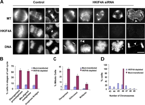 HKIF4A is required for maintenance of mitotic spindle integrity and cellular ploidy. (A) Mitotic MRC-5 cells were stained with anti-tubulin, anti-HKIF4A antibodies, and DAPI to reveal the spindle and the chromosomal states in mock-transfected (control) or RNAi-transfected MRC-5 cells 48 h after transfection. The HKIF4A-depleted cells showed dramatic defects in spindle structure accompanied by chromosome mis-segregation. Anaphase and late telophase cells showed lagging chromosomes or lagging chromosomes forming a bridge (forked arrowheads). Bar, 5 μm. (B) Mitotic phenotypes 48 h after transfection with HKIF4A RNAi were scored against the total number of mitotic cells in a particular phase of the cell cycle. The frequency of disorganized prometaphase, mis-aligned metaphase chromosomes, and anaphase bridges was increased compared with the control cells. Values represent averages from 220 cells ± SD from three experiments. (C) Quantitation of different spindle phenotypes obtained 48 h after RNAi treatment of cells. The numbers of disorganized and defocused spindles in the mitotic figures of HKIF4-depleted cells is increased compared with mock-transfected cells. Values represent averages from three experiments ± SD. (D) Quantitation of aneuploidy caused by chromosome mis-segregation in HKIF4A-depleted MRC-5 cells. The percentage of chromosome spreads containing the indicated number of chromosomes was determined. Values represent data from four independent experiments (n= 30).
