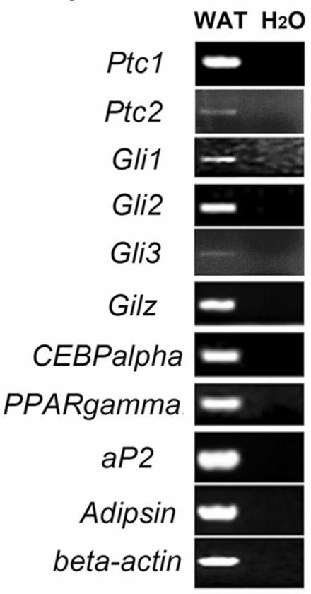 Expression of Ptc1, Ptc2, Gli1 Gli2 and Gli3 in mouse epididymal WAT. Epididymal WAT RNA from 8-week-old mice was subjected to RT-PCR analyses using specific primers for Ptc1 (Ptc1-F and Ptc1-R), Ptc2, Gli1, Gli2, Gli3, Gilz, PPARgamma, CEBPalpha, aP2 and adipsin. The numbers of PCR reaction cycles are 36 for Ptc1, 38 for Ptc2 and 32 for other tested genes. Water was included as negative controls.