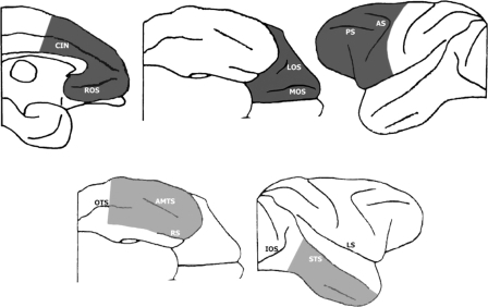 Representation of the intended extent of the ablation of frontal cortex (in the left hemisphere, top row, dark grey) and the inferotemporal cortex (in the right hemisphere, bottom row, light grey) shown from ventral, lateral and, in the frontal case, medial views. The shaded areas indicate the areas of intended removal. AMTS, anterior middle temporal sulcus; AS, arcuate sulcus; CIN, cingulate sulcus; IOS, intraoccipital sulcus; LOS, lateral orbital sulcus; LS, lateral sulcus; MOS, medial orbital sulcus; OTS, occipitotemporal sulcus; PS, principal sulcus; ROS, rostral sulcus; RS, rhinal sulcus; STS, superior temporal sulcus.