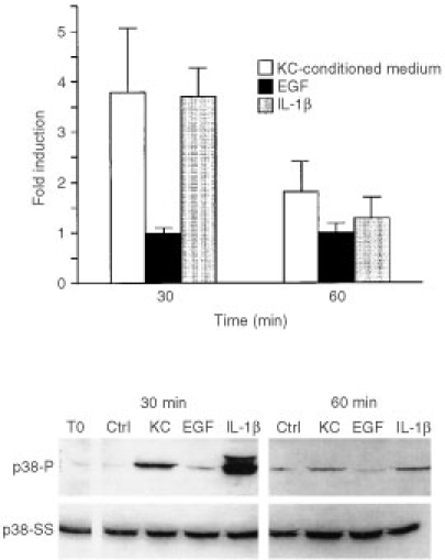 p38 phosphorylation in fibroblasts in response to stimulation by keratinocyte-conditioned medium, EGF and IL-1β. Fibroblasts were exposed for 30 or 60 min to culture medium alone or to a 50 : 50 mixture of culture medium and keratinocyte-conditioned medium. At the end of the incubation period, extracts were prepared and assayed for phospho-p38 expression as described in the Materials and Methods section. Values shown are expressed as fold-induction relative to the level detected in cells exposed to culture medium alone. Values are means and standard deviations based on n=6 separate experiments for keratinocyte-conditioned medium and n=5 for EGF and IL-1β. The insert demonstrates a Western blot from one experiment. To: p38 phosphorylation in an extract from cells exposed to culture medium alone at time-zero; Ctrl: p38 phosphorylation in extracts from fibroblast exposed to culture medium alone at each time-point. p38-P=phosphorylated p38. p38-SS=total p38 protein.