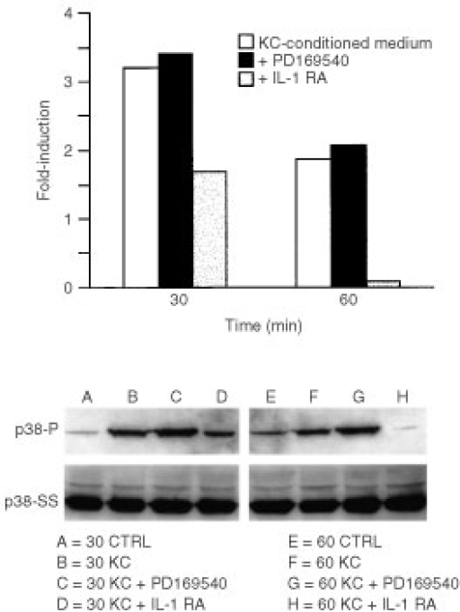 Effects of an IL-1 receptor antagonist and an EGF receptor tyrosine kinase antagonist (PD169540) on p38 phosphorylation induced by keratinocyte-conditioned medium. Fibroblasts were exposed for 30 or 60 min to culture medium alone or to a 50 : 50 mixture of culture medium and keratinocyte-conditioned medium with or without 50 μg ml−1 IL-1 receptor antagonist or 1 μM PD169540. At the end of the incubation period, extracts were prepared and assayed for phospho-p38 expression as described in the Materials and Methods section. Values shown are expressed as fold-induction relative to the level detected in cells exposed to culture medium alone. The insert demonstrates a Western blot from one experiment. p38-P=phosphorylated p38. p38-SS=total p38 protein.