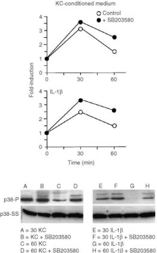Effects of SB203580 on p38 phosphorylation induced by keratinocyte-conditioned medium or IL-1β. Fibroblasts were exposed for 30 or 60 min to culture medium alone or to a 50 : 50 mixture of culture medium and keratinocyte-conditioned medium with or without 15 μM SB203580. At the end of the incubation period, extracts were prepared and assayed for phospho-p38 expression as described in the Materials and Methods section. Values shown are expressed as fold-induction relative to the level detected in cells exposed to culture medium alone. The insert demonstrates a Western blot from one experiment. p38-P=phosphorylated p38. p38-SS=total p38 protein.