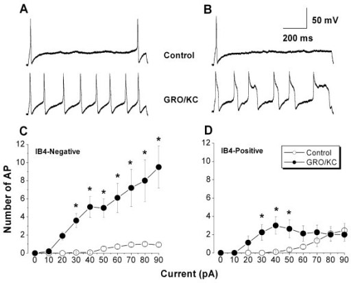 Small diameter neurons acquire the ability to fire repetitively after GRO/KC incubation. A, Examples of the voltage response to a 90 pA 1 second current injection in a control IB4-negative neuron (top) and in an IB4-negative neuron incubated overnight in GRO/KC (1.5 nM) (bottom). B. Examples of the voltage response to a 50 pA current injection in control (top) and GRO/KC incubated (bottom) IB4-positive neurons. Same scale as A. C, D: Average number of action potentials during a 1 second current injection as a function of current amplitude in IB4-negative (C) and IB4-positive (D) cells. *, significant difference between GRO/KC and control cells at the indicated current value (two-way RM ANOVA with Holm-Sidak post test). N = 8 to 14 cells per group; data combined from 3 different cultures.