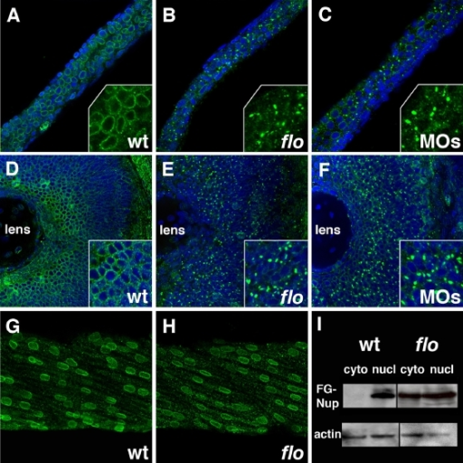 Nuclear pore disruption in flo mutants.(A–C) Confocal projections through the posterior intestine of 75 hpf wild type (A), flo (B), and elys morpholino injected larvae (C), following anti-FG nucleoporin immunostainings with mAb414 (green; DAPI–blue). There is a dramatic reduction of nuclear pores in the flo and morpholino injected larvae. Inset shows higher magnification of localized regions of the DAPI-stained image. (D–F) Identical findings are evident in the retina of these larvae. Note apparent cytoplasmic accumulation of the immunoreactive FG-nucleoporins in flo and morpholino injected larvae. (G,H) Normal nuclear distribution of FG nucleoporins in wild type and flo skeletal muscle. (I) Western blot showing levels of FG nucleoporin proteins relative to beta-actin in nuclear (nucl) and cytoplasmic (cyto) extracts derived from the intestine of 75 hpf flo and sibling wild type larvae.