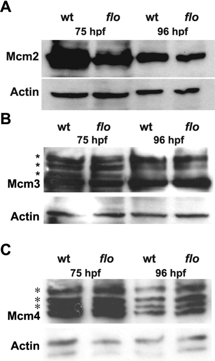 Reduced chromatin bound Mcm2 in the flo intestine.(A) Western analysis showing reduced levels of chromatin bound Mcm2 in 75 hpf and 96 hpf flo intestine compared with wild type siblings. By contrast, levels of chromatin bound Mcm3 (B) and Mcm4 (C) in the flo intestine are comparable to wild type. Multiple bands (*) corresponding to phospho-Mcm3 and phospho-Mcm4 are recognized by the antibodies directed against the native proteins in wt and flo samples.