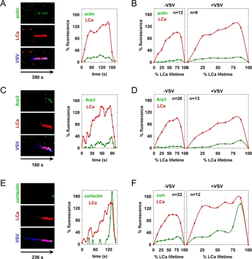 Actin cytoskeletal dynamics during clathrin-dependent uptake of VSV.(A, C, and E). VSV internalization events in BSC-1 cells co-expressing tom-LCa and eGFP-actin (A), arp3-eGFP (C), or cortactin-eGFP (E) are shown as kymographs and in Videos S6, S7, S8 respectively. The fluorescence over time (left to right) of the actin cytoskeletal component (top), tom-LCa (middle), and a merge of these traces with the virus are shown (bottom) and are represented graphically at the right using the same approach as in Figure 1D. (B, D, and F) Graphs of the average kinetics of clathrin and actin (B), arp3 (D) and cortactin (F) recruitment to vesicles lacking (left) or containing (right) virus are shown. Average fluorescence intensity and time are expressed as a % relative to CCV lacking virus observed in the same cells. Fluorescence intensity was calculated at 8 equally-spaced intervals and is plotted+/−standard error. Virus internalization data was collected from 5, 3, and 2 cells for panels B, D and F respectively, and compared with events lacking virus from 2, 2, and 3 of the same cells, respectively. The differences between the maximum actin, Arp3, and cortactin fluorescence values in pits containing and lacking VSV are statistically significant. Student's t-test: actin p = 2e-5; Arp3 p = 4e-4; cortactin p = 0.003.